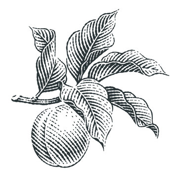 Branch of apricot. Hand drawn engraving style illustrations.