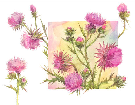 Floral set with field herbs. Thistle.  Hand painted watercolor illustration.