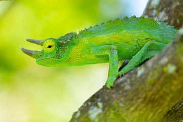 Printed roller blinds Chameleon photoshooting in Hawaii chameleon