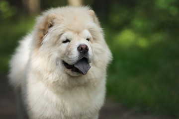 Search photos chow-chow