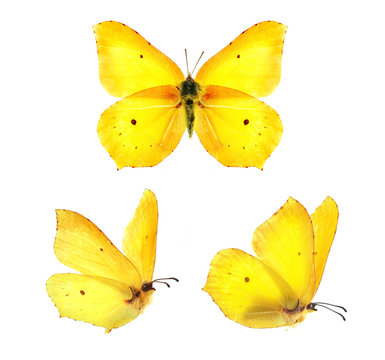 Set - three beautiful yellow butterflies Gonepteryx isolated on white background. Butterfly with spread wings and in flight.