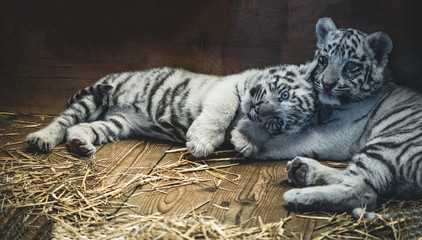 two White Tiger babys in a zoo in austria