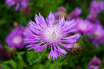 Centaurea dealbata an herbaceous pink perennial summer autumn flower plant commonly known as Persian cornflower