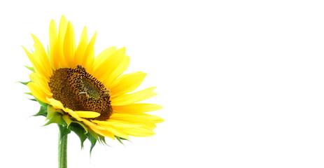 Sonnenblume vor weißen Hintergrund - isoliert und freigestellt