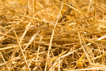 Fototapeta Surface of dry yellow straw grass background texture after havest for abstract background. obraz