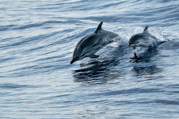 Spoed Fotobehang Dolfijn mother and calf baby striped Dolphins while jumping in the deep blue sea