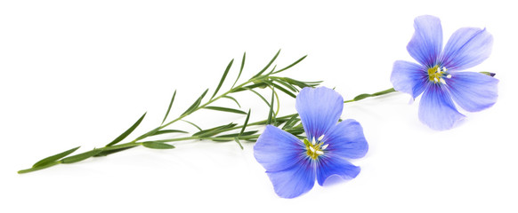 Flax blue flowers isolated on white background