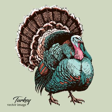 Big Turkey bird black pen vector hand drawing