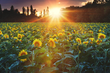 Papiers peints Aubergine Sunflower field during sunset, Slovakia