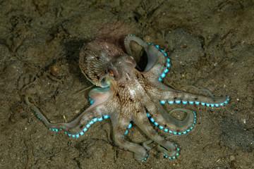 Coconut octopus and veined octopus, Amphioctopus marginatus is a medium-sized cephalopod belonging to the genus Amphioctopus