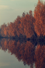 Birch trees in autumn reflect in the water