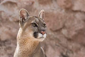 Cougar (Puma concolor) portrait, captive, Andes, Peru, South America