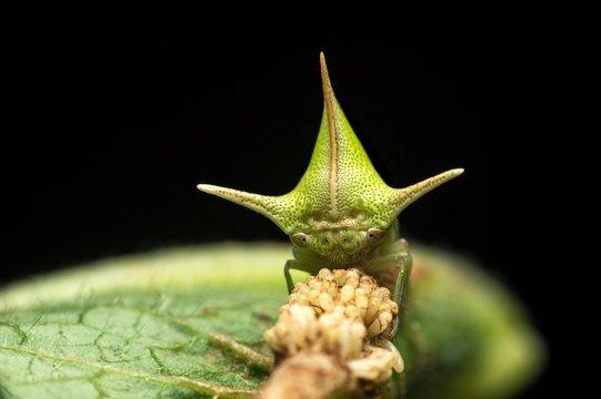 Treehopper (Alchisme grossa) guarding eggs, Amazon Rainforest, Copalinga, Zamora Province, Ecuador, South America