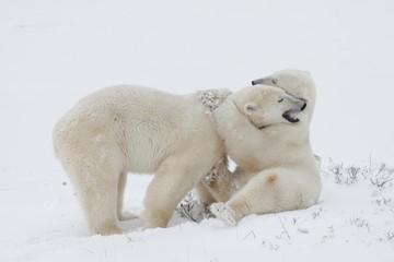 Two Polar Bears (Ursus maritimus) at play in Churchill, Manitoba, Canada, North America