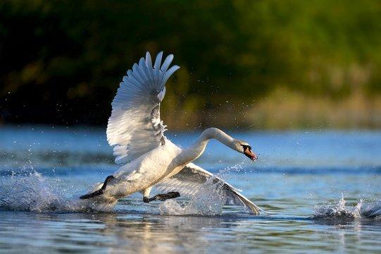 Mute swan (Cygnus olor) in water, attacking, Rheinberg, Lower Rhine North Rhine-Westphalia, Germany, Europe