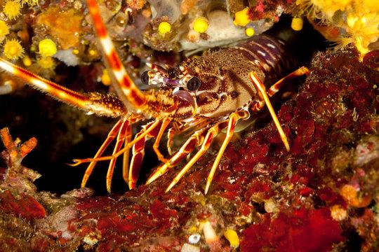 European spiny lobster, Palinurus elephas