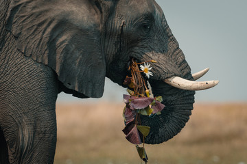 Side view of elephant grazing grass