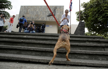 A dog called Campeon (Champion) arrives at a court for the trial of its former owner in Costa Rica's first trial against an alleged animal abuser, in Atenas