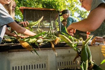 Sweet corn harvest and roadside sales