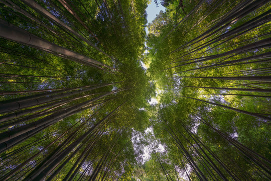 Bamboo forest in Kyoto, Japan. Woods in Arashiyama destrict