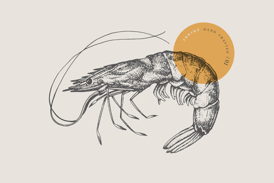 Large shrimp, drawn by graphic lines on a light background. Retro engraving for a menu of fish restaurants, for packaging in markets and in stores. Vector vintage illustration.