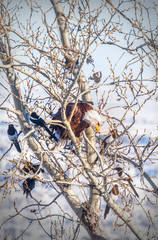 Bald Eagle Surrounded by Magpies in Canadian Rockies