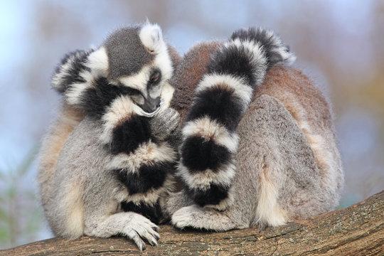 Cuddly lemurs