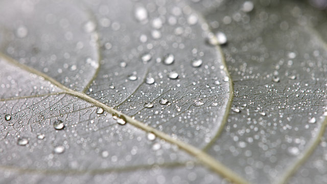 Transparent drops of water on a leaf with streaks. Macro photo of natural background. Flat lay