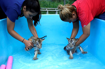 Two bengal tiger cubs, who were rejected by their mother, are bathed by zookeepers at La Pastora Zoo in the municipality of Guadalupe