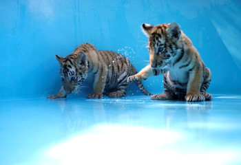 Two bengal tiger cubs, who were rejected by their mother, are pictured in a bathtub before receiving a bath at La Pastora Zoo in the municipality of Guadalupe