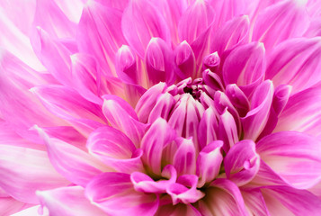 Poster de jardin Dahlia White and purple pink colourful dahlia flower macro photo with intense vivid colors with beautiful fresh blossoming flower head details.