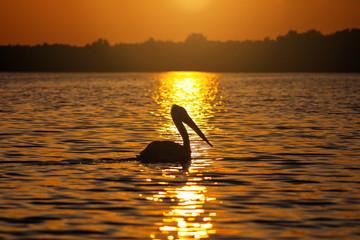 Pelican silhouette at sunset in Danube Delta, Romania