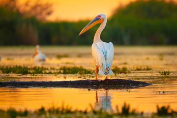 Pelican at sunset in Danube Delta, Romania