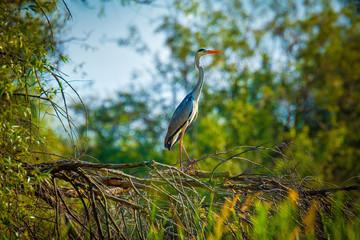 Gray heron, Ardea cinerea in Danube Delta, Romania