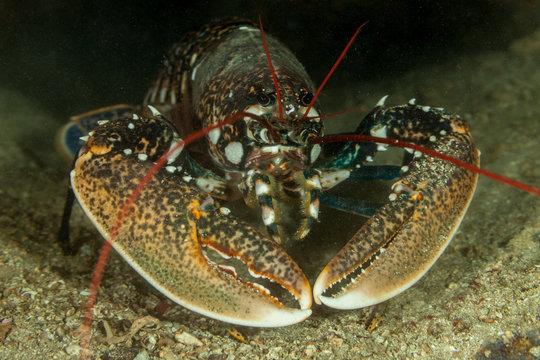 European lobster or common lobster, Homarus gammarus