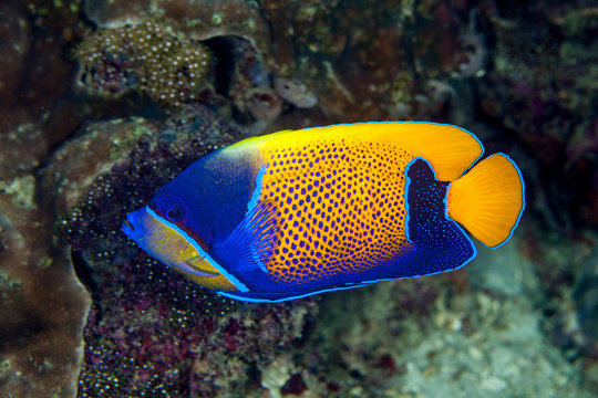 Pomacanthus navarchus, the blue-girdled angelfish or majestic angelfish