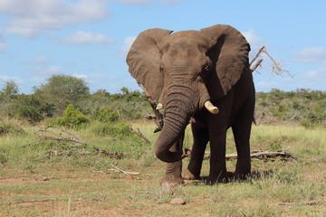 Garden Poster Elephant Afrikanischer Elefant / African elephant / Loxodonta africana