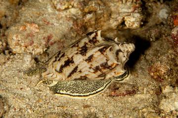 Cymbiola vespertilio sea snails