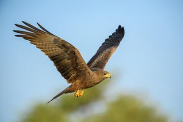 Black Kite - Milvus migrans, beautiful large bird of prey largely worlwide distributed, La Somone, Senegal. Fototapete