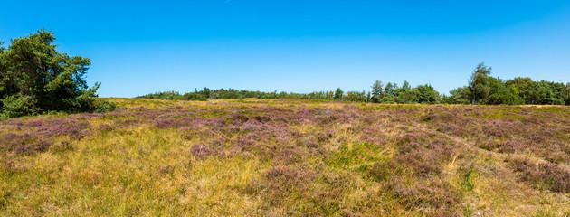 Heidelandschaft im Hochsommer mit blauen Himmel