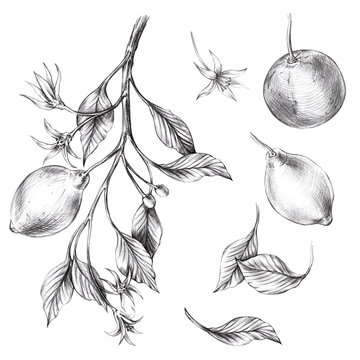 black pencil illustrations of lemon, orange, leaves, twigs, flowers, buds on a white seamless background for use in design, textiles, wallpaper