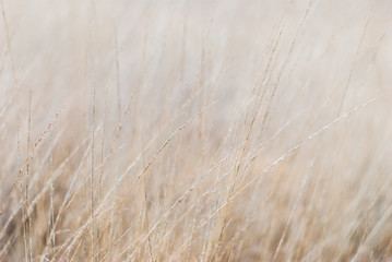 Obraz Dry grass in the meadow in winter. Close-up, blurred background, soft focus on individual straws. For a background in natural soothing colors. - fototapety do salonu