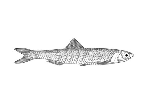 Hand drawn anchovy illustration