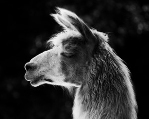 Fotorolgordijn Lama lama ritratto di profilo
