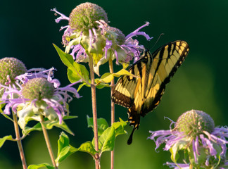 Yellow and black swallowtail in a morning garden