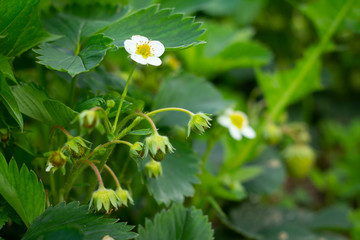 closeup of strawberry flowers growing in garden