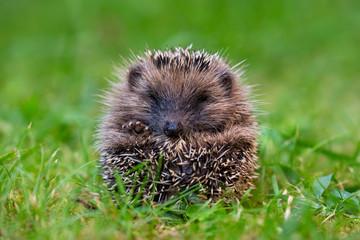 Little hedgehog close up