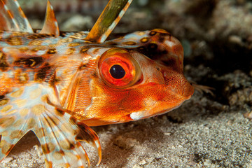 Dactyloptena orientalis, known commonly as the Oriental flying gurnard or purple flying gurnard among other vernacular names, is a species of marine fish in the family Dactylopteridae