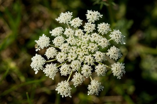 Wild Carrot (Dakus carota) used to reliably stop the diarrhea. The root also contains carotene, so it can be used in diseases of the liver, jaundice and intestinal inflammations.