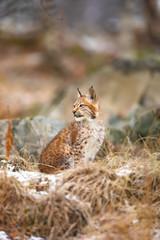 Aluminium Prints Lynx Eurasian lynx look sideways in the forest at winter